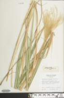 Miscanthus sinensis image