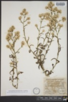 Image of Pseudognaphalium ramosissimum