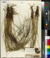 Image of Muhlenbergia filipes