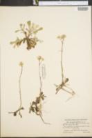 Image of Antennaria petaloidea