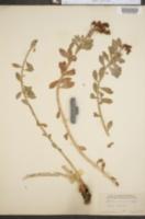 Image of Sedum roseum