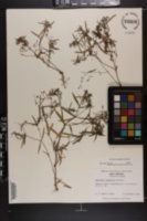 Houstonia longifolia image