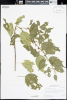 Colubrina triflora image