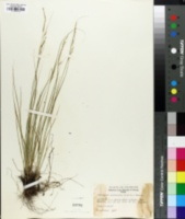 Piptatheropsis micrantha image