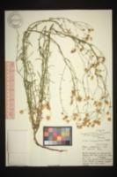 Symphyotrichum campestre image