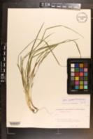 Image of Carex cumberlandensis