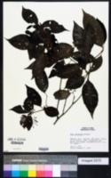 Image of Neea spruceana