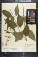 Verbena urticifolia image