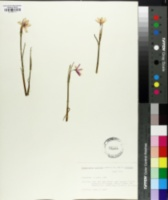 Image of Sisyrinchium inflatum