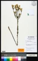 Heterotheca fastigiata image