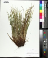 Image of Carex oligocarpa
