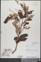Image of Luehea candicans