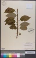 Prunus campanulata image