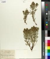 Image of Melosmon laciniatum