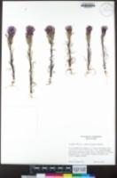 Castilleja exserta image