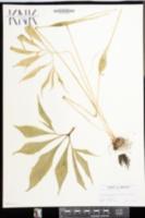 Image of Pinellia ternata