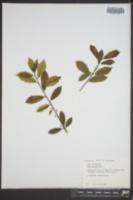 Ilex aquifolium image