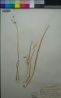 Allium hyalinum image