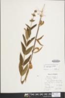 Image of Stachys eplingii