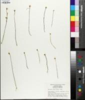 Bartonia verna image