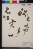 Dissotis rotundifolia image
