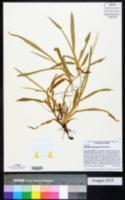 Axonopus compressus image