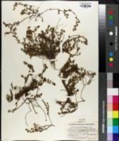Image of Croton nummulariifolius