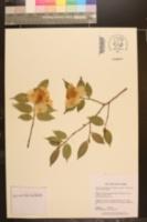 Camellia cuspidata image