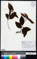Image of Clytostoma binatum