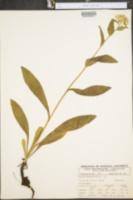 Hieracium gracile image