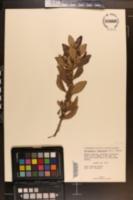 Rhodomyrtus tomentosus image