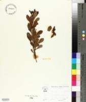 Image of Searsia undulata