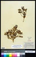 Pediomelum subacaule image