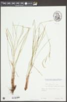Image of Carex austroalpina