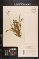 Luzula acuminata image