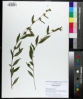 Ludwigia alternifolia image