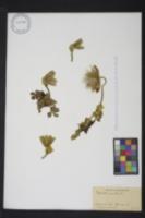 Image of Anemone vernalis