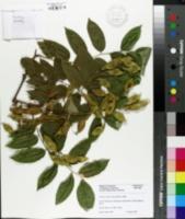 Image of Cladrastis platycarpa