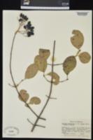 Viburnum prunifolium var. bushii image