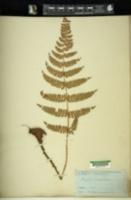 Image of Phegopteris platyphylla