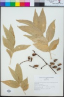 Image of Sapindus vitiensis
