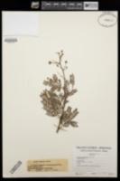 Image of Acacia eburnea