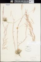 Arabis cobrensis image