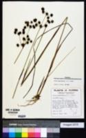 Juncus megacephalus image