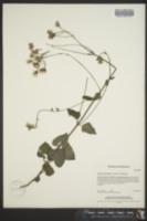 Image of Ageratina pendula