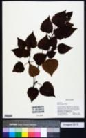 Image of Betula ermanii