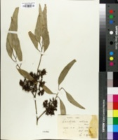 Image of Eucalyptus argophloia