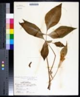 Arisaema triphyllum subsp. pusillum image