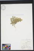 Image of Linanthus melingii