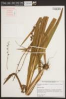 Crocosmia x crocosmiiflora image
